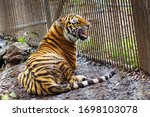 Amur Tiger In Captivity. The...