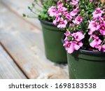 Pink Diascia Flowers In Plastic ...