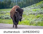 American Bison In The Field Of...