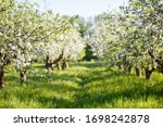Apple Orchard With Blooming...
