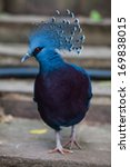 Victoria Crowned Pigeon. Exotic ...