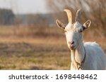A White Horned Goat Head On...