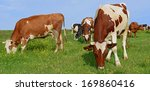 cows on a summer pasture | Shutterstock . vector #169860416