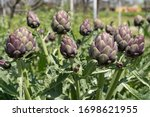 Organic Artichoke Fields In...
