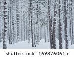 Winter landscape of a snow flocked pine woods, Hiawatha National Forest, Michigan