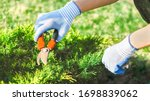 seasonal work in the garden. Gardener in work gloves cuts dry branches of thuja with shears. Pruning bushes. Cutting Branches at spring or autumn. hand holding garden red scissors. Garden farm work - stock photo