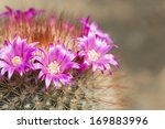 Pink Flowers On Cactus At Gree...