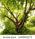 A Large Branchy Tree In The...
