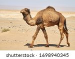 The Dromedary Camel In The...