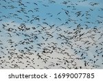 A huge flock of flying Canada geese trying hard not to bump into each other near Stayton, Oregon. The Canada goose is a large wild goose with a black head and neck, white cheeks, and brown body