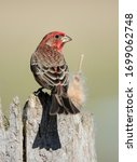 House Finch Perched On A Stump.