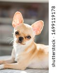 Chihuahua Puppy Cream Close Up