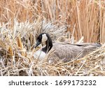 Canadian Goose Nesting In Dry...