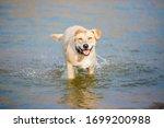 Wet Golden Labrador Retriever...