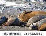 Southern Elephant Seals ...