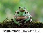 Australian White Tree Frog On...