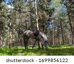 Arabian Horse Grazing In The...
