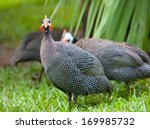 Wild Guinea Hen On A Green Grass
