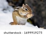 A Chipmunk In The Snow Eating ...