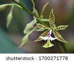 Epidendrum Stamfordianum Orchid ...