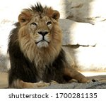 African Lion  King Of Beasts