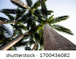 Betel Palm Tree With Evergreen...