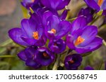 Luxurious First Spring Flower...