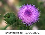 The  Wire Tenderness. Thistle...