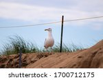 Seagull Sitting On A Sand Dune...