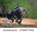Small photo of Buffalo Scuffle - witnessing some action at a waterhole in Kruger National Park, South Africa