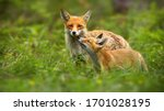 Family of red fox, vulpes vulpes, mother and young cub touching with noses in green summer nature. Close interaction between female adult mammal and her offspring. Animal wildlife.