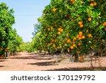 Close Up Of Orange Trees In Th...