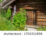Old Log Cabin With Flowering...