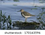 Small photo of Spotted sandpiper, Actitis macularis, single bird by water, Belize