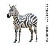Zebra isolated on white...