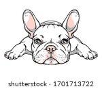 Cute French Bulldog Puppy....