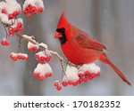 A Winter Northern Cardinal ...
