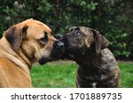 Two Young Boerboel Dogs...