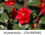 Selective Focus Of Camellia...