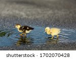 Baby Ducks Playing In Puddle O...