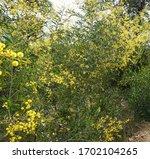 Australian Wattle Tree In Full...