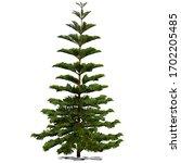 Evergreen Coniferous Araucaria...