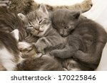 Stock photo sleeping cat children a heap of cat is cuddly babies on their mother 170225846