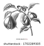 nutmeg branch botanical drawing ... | Shutterstock .eps vector #1702289305