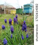 Blue Violet Grape Hyacinth...
