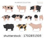 Pig Breeds Collection 1. Farm...