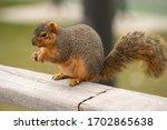 Fox Squirrel Eats A Snack In...