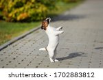 Puppy Jack Russell Terrier...