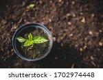 Pepper Plant In Soil Seedling...