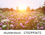Summer Time. Blooming Clover On ...